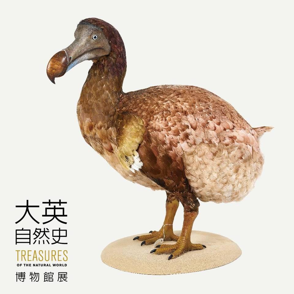 渡渡鳥模型